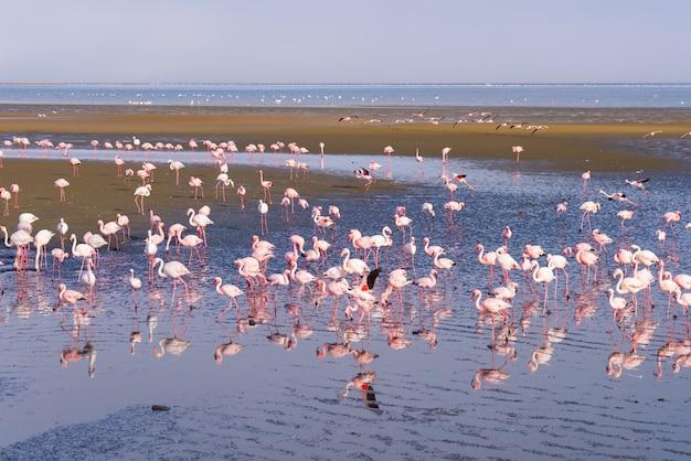 アフリカ、ナミビアのウォルビスベイの海のピンクのフラミンゴのグループ。