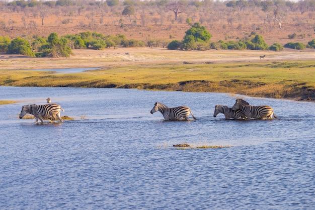 Зебры пересекают реку чобе. свет заката.