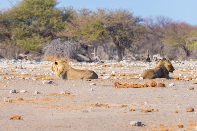 茂みの地面に横たわっているライオンのカップル。