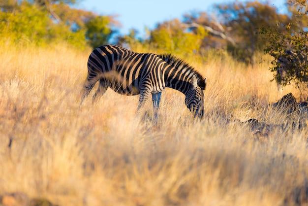 Зебра, пасущихся в кустах на закате.