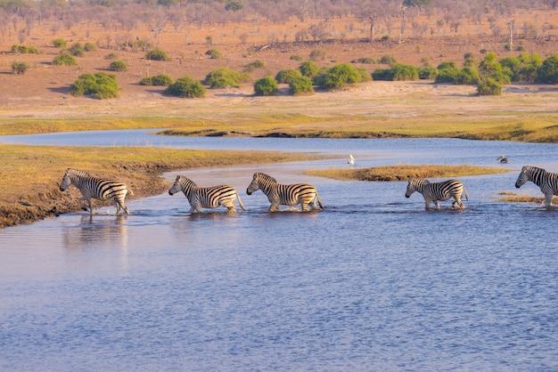 Зебры пересекают реку чобе.
