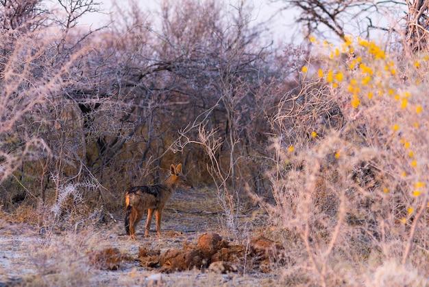 Пятнистая гиена стоит в кустах на рассвете.