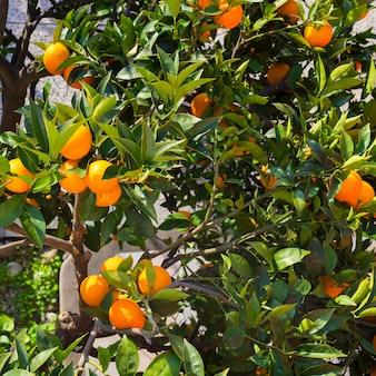 Апельсиновое дерево и с зелеными листьями и красочными спелыми оранжевыми плодами