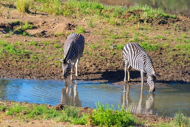 クルーガー国立公園のシンウェジ川から飲むシマウマの群れ