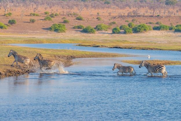 Зебры пересекают реку чобе. светящийся теплый закатный свет. дикая природа сафари в африканских национальных парках и заповедниках.