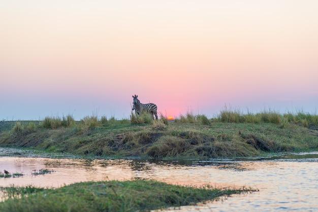 日没時の逆光でチョベ川の土手の上を歩くシマウマ。地平線の風光明媚なカラフルな日光。ナミビアボツワナ国境のチョベ国立公園での野生動物サファリとボートクルーズ。