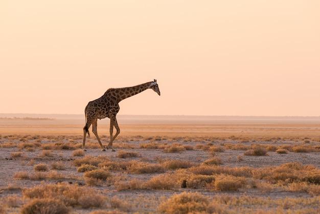 日没で砂漠のパンの茂みの中を歩くキリン。アフリカのナミビアの主要な旅行先であるエトーシャ国立公園の野生生物サファリ。縦断ビュー、風光明媚な柔らかな光。