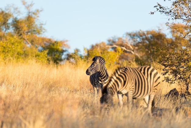 茂みの中のシマウマの群れ。南アフリカの主要な旅行先であるクルーガー国立公園のワイルドライフサファリ。夕日の光。