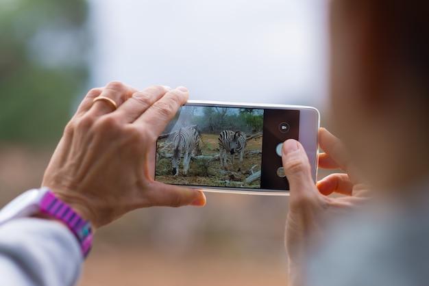 茂みの中のシマウマの群れをスマートフォンで写真を撮る観光客。南アフリカの旅行先であるクルーガー国立公園のワイルドライフサファリ。