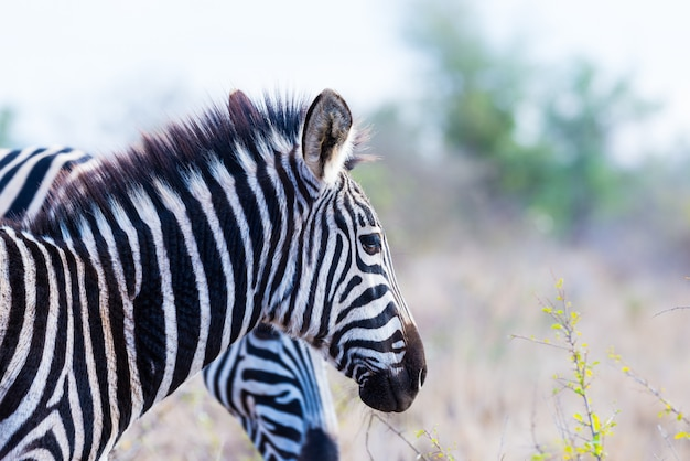 ゼブラプロファイル、冷たいトーン。クルーガー国立公園の野生動物サファリ、南アフリカの有名なランドマークと旅行先。
