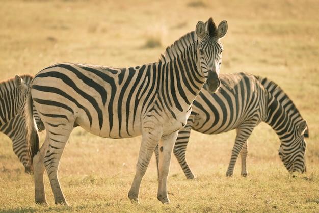 Стадо зебр, пасущихся в кустах. сафари дикой природы в национальном парке крюгера, основные туристические направления в южной африке. тонированное изображение, старинный старый ретро стиль.