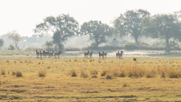 茂みに放牧シマウマの群れ。南アフリカの主要な旅行先であるクルーガー国立公園のワイルドライフサファリ。トーンのイメージ、ヴィンテージの古いレトロなスタイル。