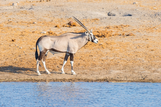 Орикс гуляя около водопоя в дневном свете. сафари дикой природы в национальном парке этоша, главное туристическое направление в намибии, африка.