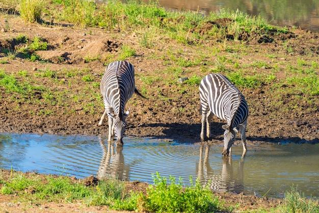 南アフリカのクルーガー国立公園のシンウェジ川から飲むシマウマの群れ。
