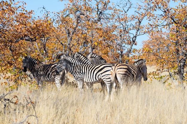 Стадо зебр в кустах