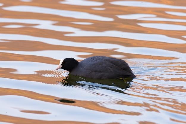 水面、日没の柔らかな光で泳ぐ孤独なオオバン