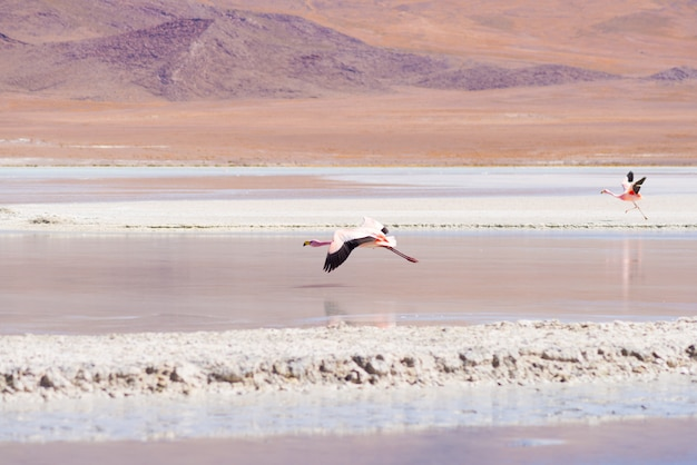 ボリビアのアンデスの塩湖の上を飛んでピンクのフラミンゴ