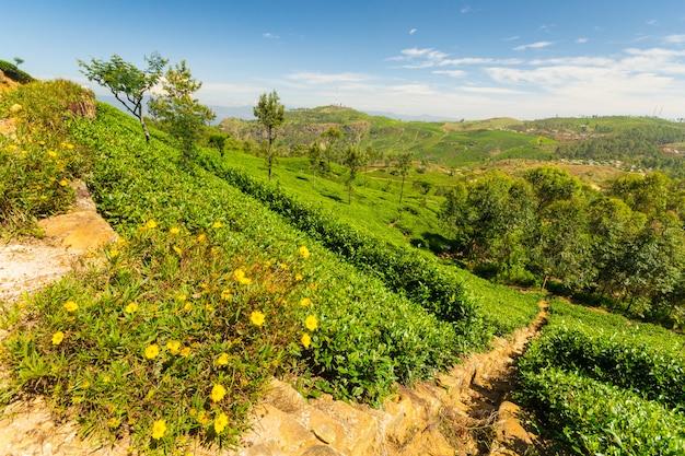 Чайная плантация зеленый пейзаж в шри-ланке