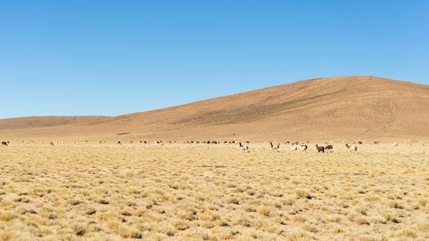 Пустынное нагорье на андах с ламами