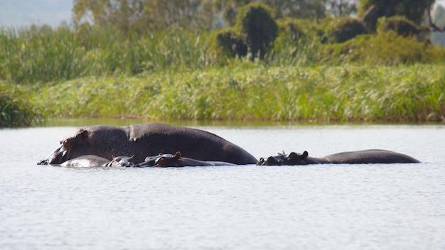 エチオピアのタナ湖の野生に住んでいるヒポタマス