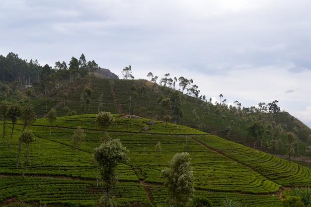 スリランカ、ハプタレーの緑茶作物と霧