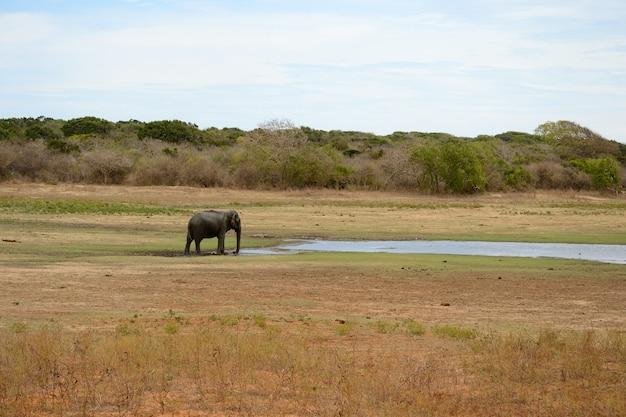 Дикий азиатский слон, национальный парк яла, шри-ланка