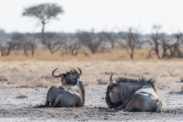 茂みに横たわっている青いヌー。エトーシャ国立公園の野生生物サファリ、ナミビア、アフリカの有名な旅行先