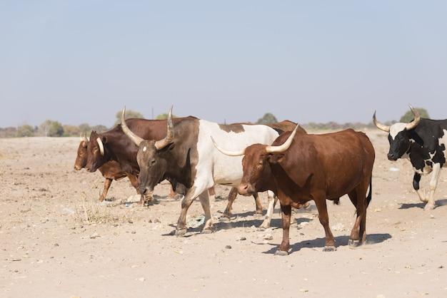 アフリカの未舗装の道路、田舎の生活の上を歩く牛の群れ