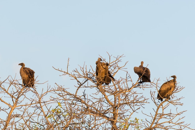 ハゲワシのグループが木の上に腰掛けて、澄んだ青い空、夕日の光、チョベ国立公園、ボツワナ、アフリカ