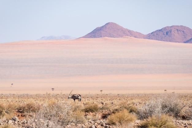 Орикс пасется в пустыне намиб, национальный парк намиб науклуфт, намибия, африка