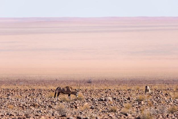 ナミブ砂漠、ナミブナウクルフト国立公園、ナミビア、アフリカの放牧オリックス