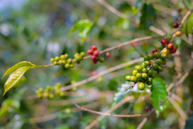 コーヒー植物、枝に熟したコーヒー豆をクローズアップ