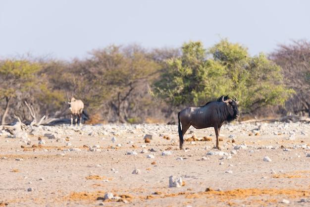 茂みの中を歩く青いヌー。エトーシャ国立公園の野生生物サファリ、アフリカのナミビアの有名な旅行先。