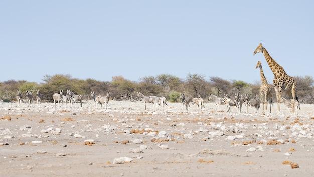 砂漠のパンの茂みの中を歩くキリン。エトーシャ国立公園の野生動物サファリ。