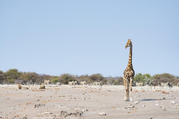 Жираф гуляет возле львов, лежащих на земле. сафари в заповеднике этоша.