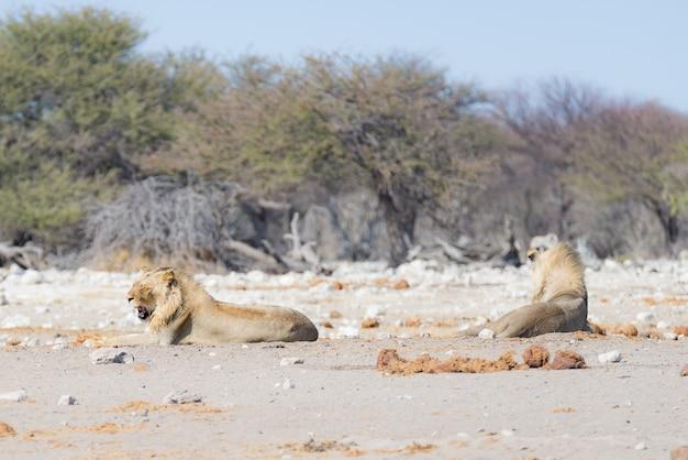 地面に横たわっているライオン。バックグラウンドで邪魔されずに歩いているシマウマ(デフォーカス)。