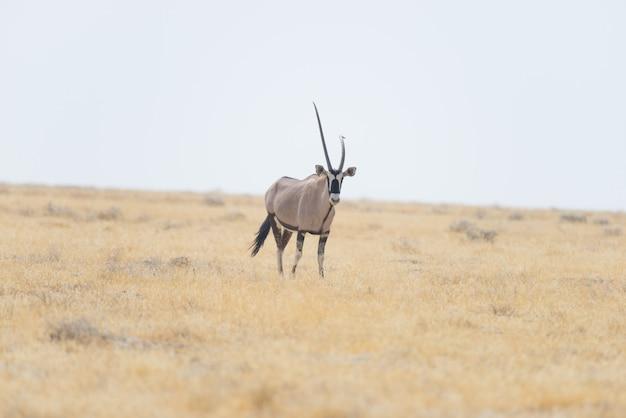 アフリカのサバンナ、雄大なエトーシャ国立公園、アフリカのナミビアで最高の旅行先に立つオリックス。