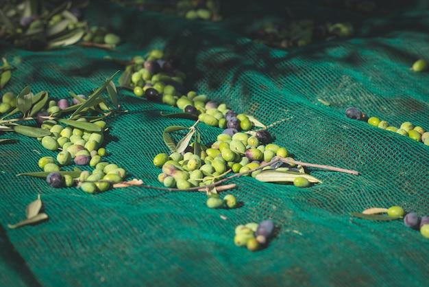 ネット上の緑と黒の新鮮なオリーブ。イタリアのリグーリア、タジアスカまたはカイテリエの栽培品種での収穫。トーンの画像。