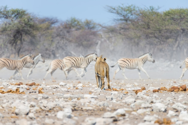 逃げるシマウマの群れに向かって歩く若い雄ライオン、攻撃の準備ができて、焦点がぼけた。アフリカ、ナミビア、エトーシャ国立公園の野生生物サファリ。