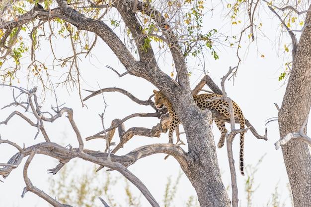 Леопард садясь на насест от ветви дерева акации против белого неба. сафари в национальном парке этоша, главное направление в намибии, африка.