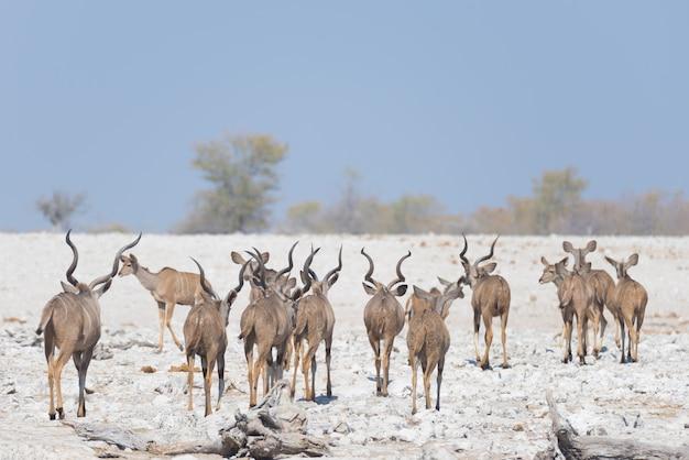 ナミビアの砂漠を歩くクーズーの群れ。エトーシャ国立公園の野生動物サファリ、アフリカのナミビアの雄大な旅行先。