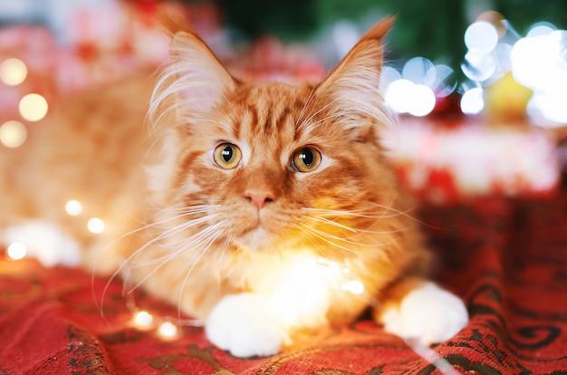 お祝いの赤い毛布でクリスマスツリーのそばに座って美しい赤いメインあらいくま猫の肖像画