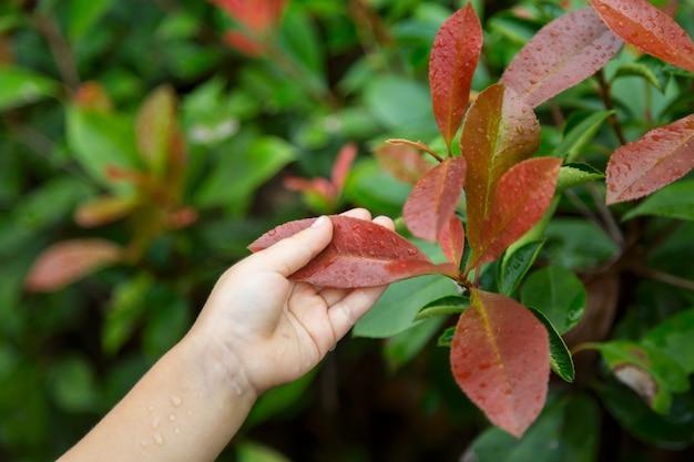 子供の手は屋外の赤い葉を保持します