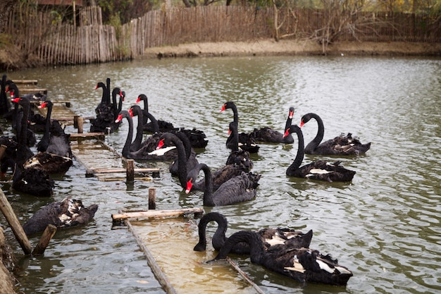 Черные лебеди плавают в пруду