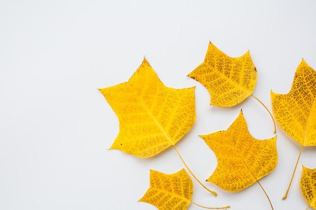 白い背景の上の黄色の葉