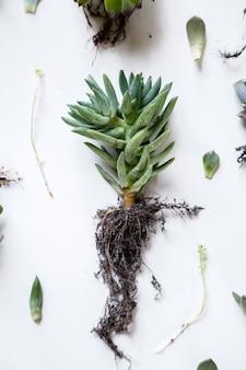 多肉植物のクローズアップ