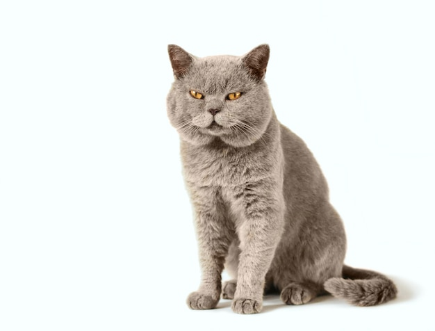 Серый шотландский кот сидит на белом фоне
