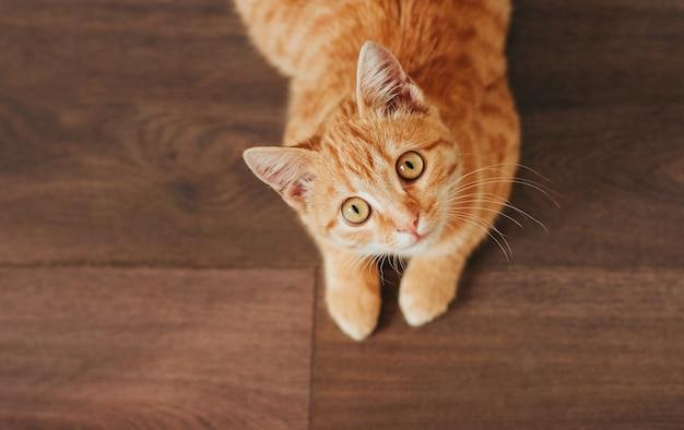 Рыжий полосатый котенок лежит на деревянном полу и смотрит