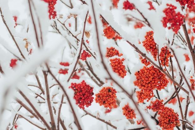 雪に覆われたナナカマドの枝