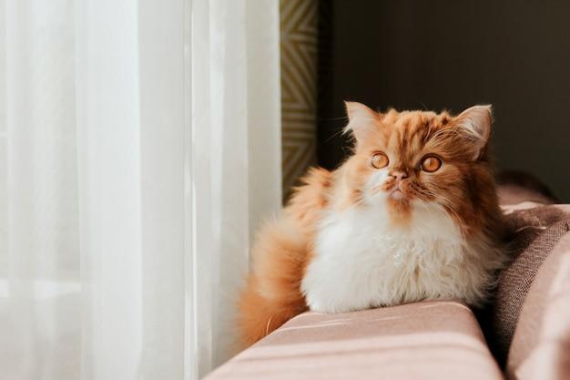 窓際のソファーの裏にあるふわふわ生姜猫。赤いスコットランドの子猫。